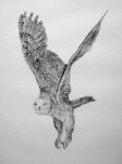 Snowy Owl in flight - click to enlarge