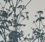 Cow Parsley II - click to enlarge