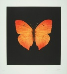 The Souls on Jacob's Ladder Take Their Flight (Large Orange Butterfly) - click to enlarge