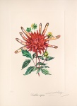 Dahlia rapax. (Dahlias of Dali.) - click to enlarge